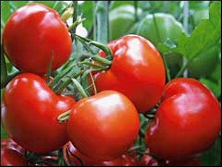 Сорт томата Малиновое чудо
